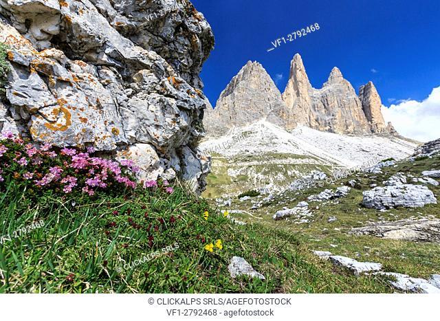 Summer flowering around the Three Peaks of Lavaredo. Sesto Dolomites Trentino Alto Adige Italy Europe