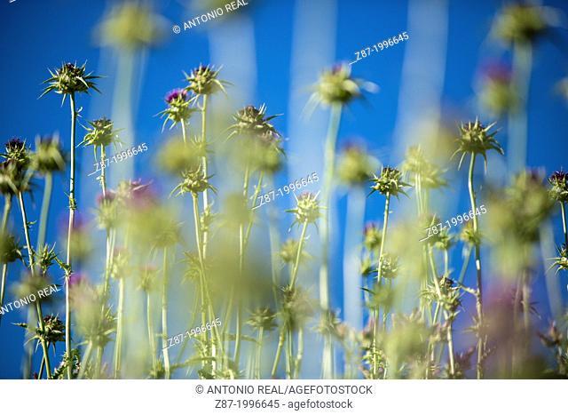 Cotton thistle (Onopordum acanthium). Reservoir of Almansa, Albacete province, Castilla-La Mancha, Spain
