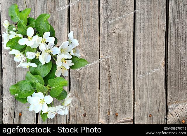 Gentle blooming apple tree branch with fragrant fresh white flowers and green leaves on a grunge wooden fence background with space for text - element of spring...