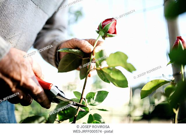 Senior man's hand cutting rose in the garden, close-up