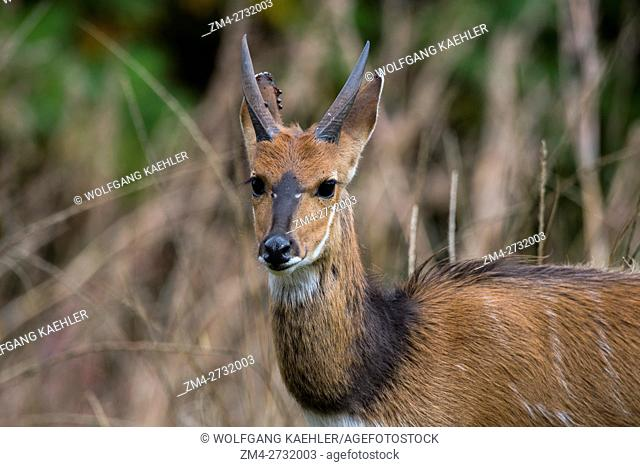A close-up of bushbuck ram on the Nyika Plateau, Nyika National Park in Malawi