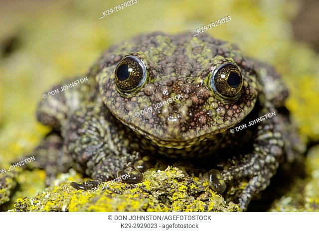 Vietnamese Moss Frog (Theloderma corticale), Captive, Reptilia reptil zoo, Vaughan, Ontario, Canada