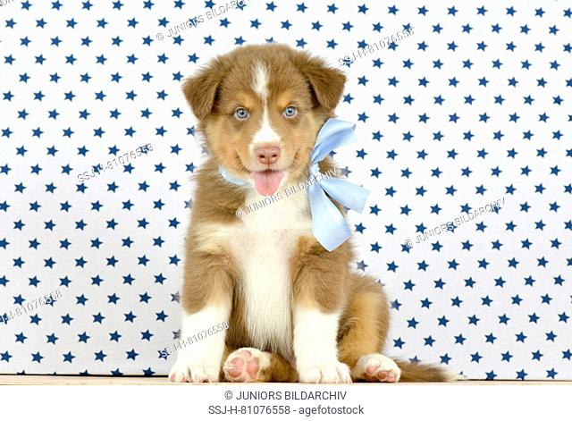 Australian Shepherd. Puppy (8 weeks old) sitting, wearing a light blue bow. Studio picture. Germany