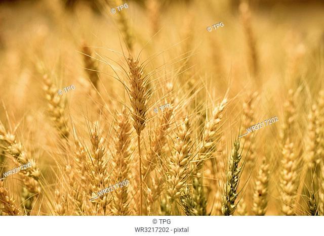 barley fields;Seoul