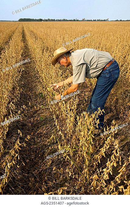 Agriculture - A crop consultant inspects a mature harvest ready crop of soybeans / Northeast Arkansas, USA