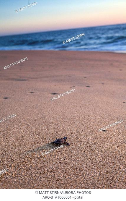 A Newly Hatched Baby Turtle Makes Its Way Towards The Pacific Ocean Near Todos Santos, Mexico
