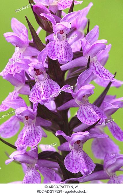 Heath Spotted Orchid, Belgium, Dactylorhiza maculata