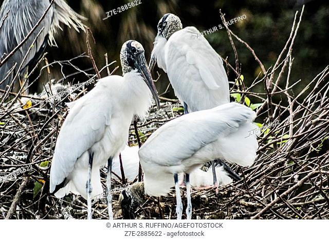 wood storks in nest, Florida, USA