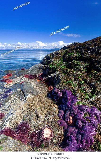 Purple starfish and sea urchins crowd a rock outcropping on Mitlenatch Island. Mitlenatch Island provincial Park, Georgia Strait, British Columbia,Canada
