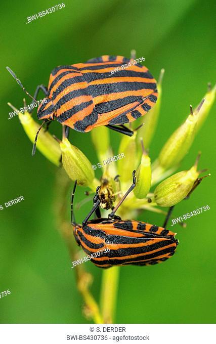 Italian Striped-Bug, Minstrel Bug (Graphosoma lineatum, Graphosoma italicum), two Italian striped-bugs sit on the infructescence of an umbellifer infructescence