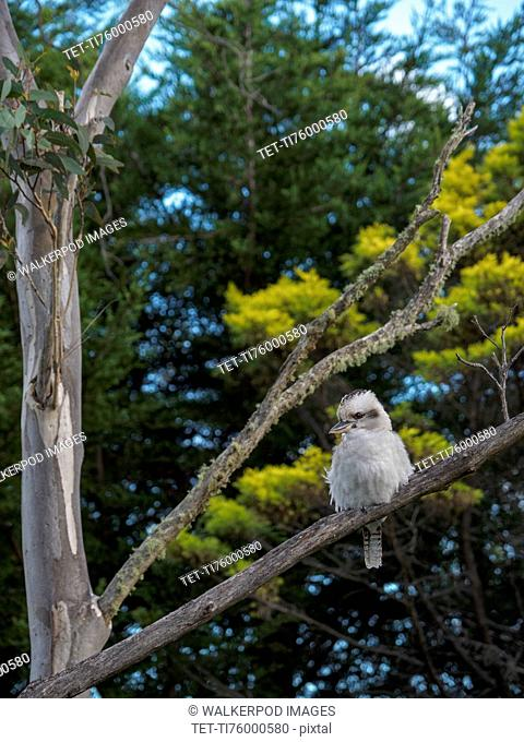 Kookaburra perching in tree