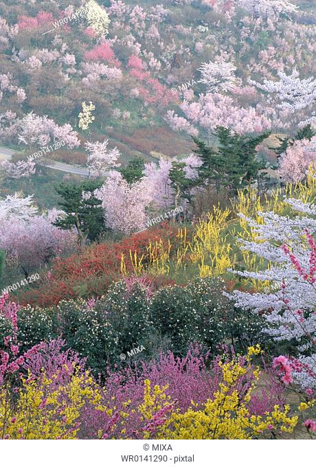Cherry Blossoms and Flowers, Fukushima, Japan