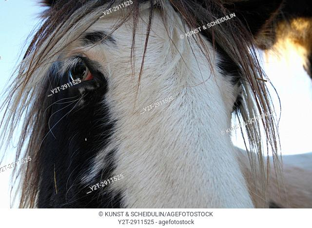 Portrait of a Tinker horse
