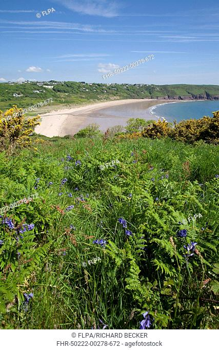 Bluebell (Endymion non-scriptus) and Common Gorse (Ulex europaeus) flowering, growing on clifftop habitat, Freshwater East, Pembrokeshire, Wales, June