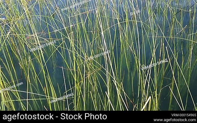 Aquatic grass moving smoothly on the shore of a lake