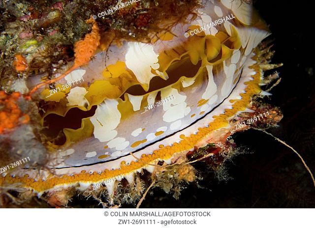 Variable Thorny Oyster (Spondylus varians), Night dive, Wagmab dive site, Balbulol Island, Misool, Raja Ampat (4 Kings), West Papua, Indonesia