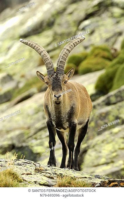 Spanish Ibex (Capra pyrenaica victoriae), male. Sierra de Gredos, Spain