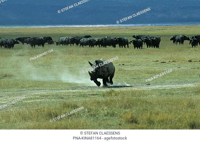 white Rhinoceros, Wide-mouthed Rhinoceros Ceratotherium simum - Nakuru National Park, Lake Nakuru, Great Rift Valley, Kenya, Africa