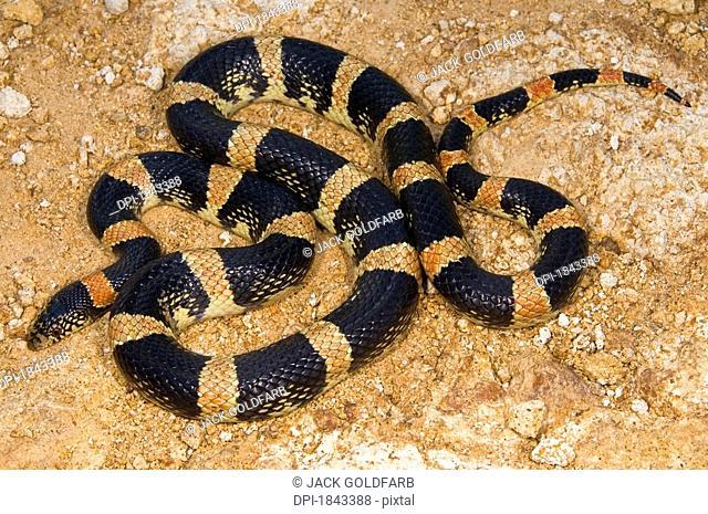 Long-nosed snake Rhinocheilus lecontei, Pajarito Mountains, Arizona, USA, snake slithering across a boulder