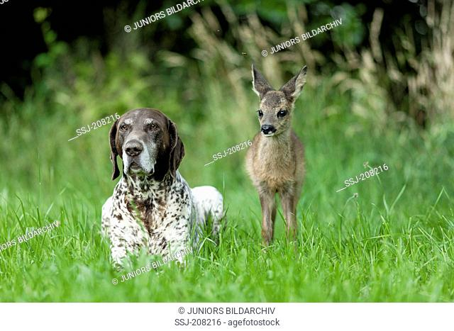 Animal friends: Adult German Shorthaired Pointer and Roe Deer fawn in grass. Germany