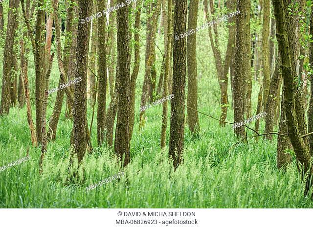Scenery, wood, black alder, Alnus glutinosa, spring