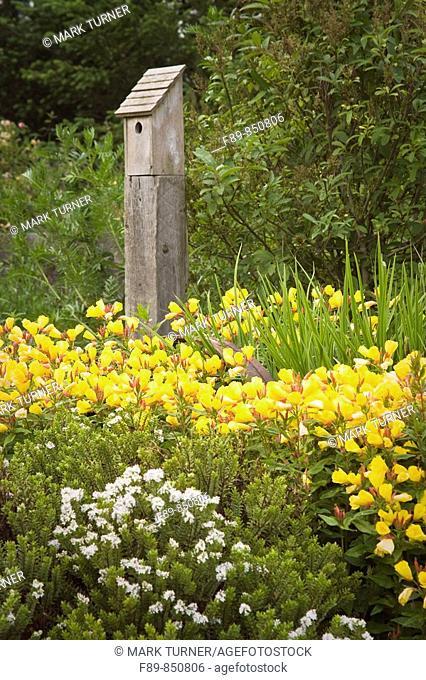 Sundrops, 'Carol Mackie' Daphne w/ birdhouse on post Oenothera fruticosa, Daphne x burkwoodii 'Carol Mackie'