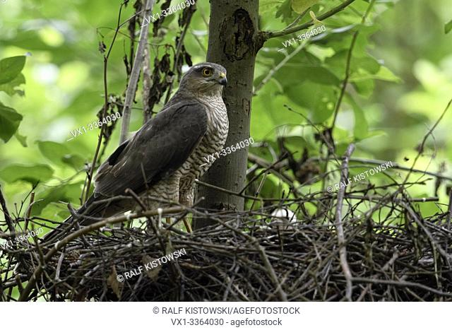 Sparrowhawk / Sperber ( Accipiter nisus ), adult female, perched on the edge of its eyrie, watching attentively, with chick in nest