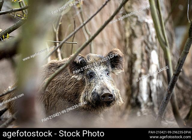 16 April 2021, Brandenburg, Kleinmachnow: In and around the Brandenburg town of Kleinmachnow there are very many wild boars