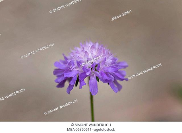 field scabiosa