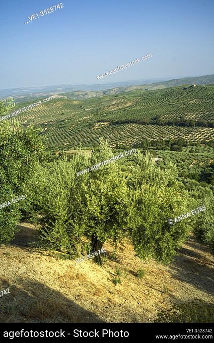 olive grove, Cazorla, Jaen, Andalucia, España, Europa
