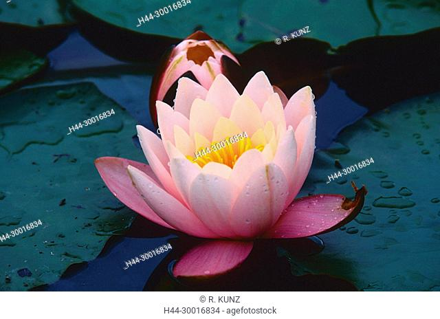 Hybrid-Water lily, Nymphaea-Hybrid, Nymphaeaceae, Water lily, blossom, flower, water plant, Chrümmi, nature reserve, Grosses Moos, Kerzers, Canton of Fribourg