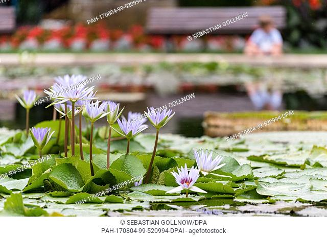 Blue water lillies (Nymphaea) bloom in the ..water lilly pond of the zoological and botanical garden of the Wilhelma in Stuttgart, Germany, 04 August 2017
