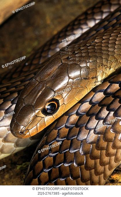 Psammophis longifrons STOUT SAND SNAKE. DETAIL - HEAD & SCALES. VERY RARE. Harmless. Endemic to India. Photograph of an individual from Maharashtra, INDIA