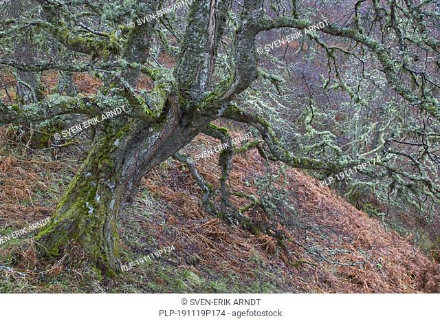 Silver birch / warty birch / European white birch (Betula pendula / Betula verucosa) tree covered in old man's beard lichens (Usnea species) in winter