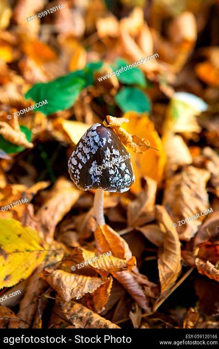 Amanita black to a white dot among the fallen yellow leaves