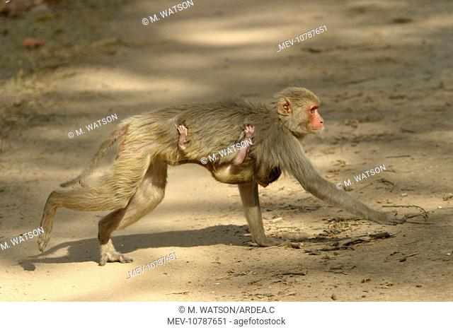 Rhesus Macaque Monkey - female walking, carrying young. Side view. (Macaca mulatta)