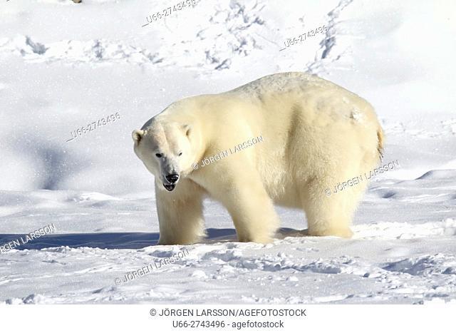 Polar bear, Ursus maritimus, Gronklitt, Dalarna, Sweden
