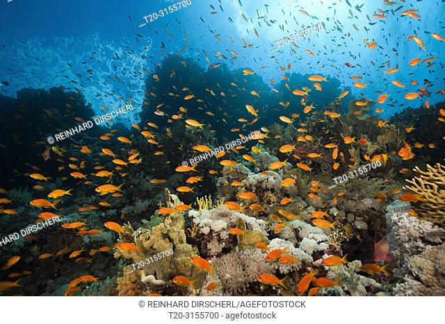 Lyretail Anthias over Coral Reef, Pseudanthias squamipinnis, Brother Islands, Red Sea, Egypt