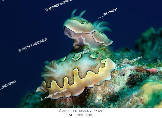 Two nudibranch or sea slug Co's Goniobranchus (Chromodoris coi) South China Sea, Redang, Malaysia, Asia