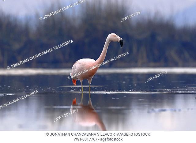 Chilean flamingo (Phoenicopterus chilensis) perched on feeding. Junín, Peru