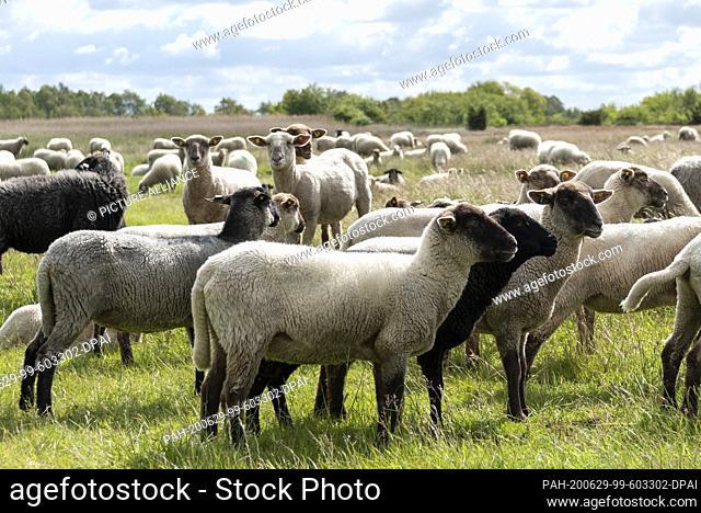 06 June 2020, Mecklenburg-Western Pomerania, Hiddensee: Sheep stand on a meadow near the fishing village Neuendorf. Photo: Stephan Schulz/dpa-Zentralbild/ZB