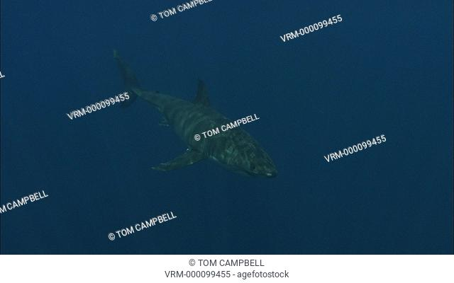Great white shark Carcharodon carcharias swims. Guadelupe Island, Mexico