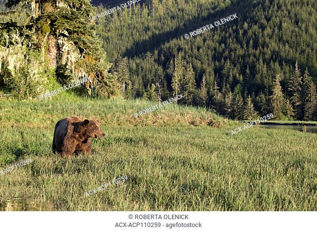 Grizzly bear (Ursus arctos horriblis), large scarred male, eating Lyngbye's sedge (Carex lyngbye), Kwinimass Estuary, British Columbia, Canada
