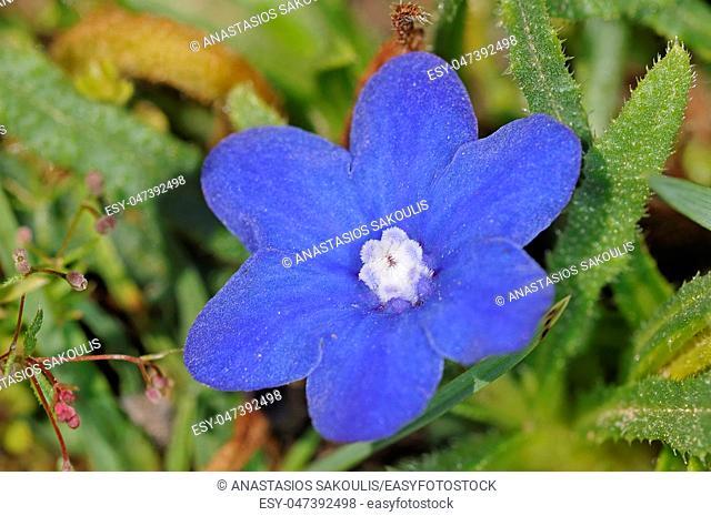 Anchusa cespitosa - White Mountains endemic flower, Crete