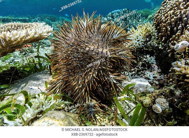Crown-of-thorns, Acanthaster planci, Sebayur Island, Komodo National Park, Indonesia