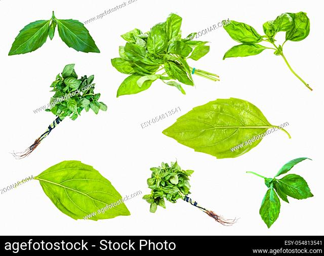 collection of fresh green basil herbs isolated on white background