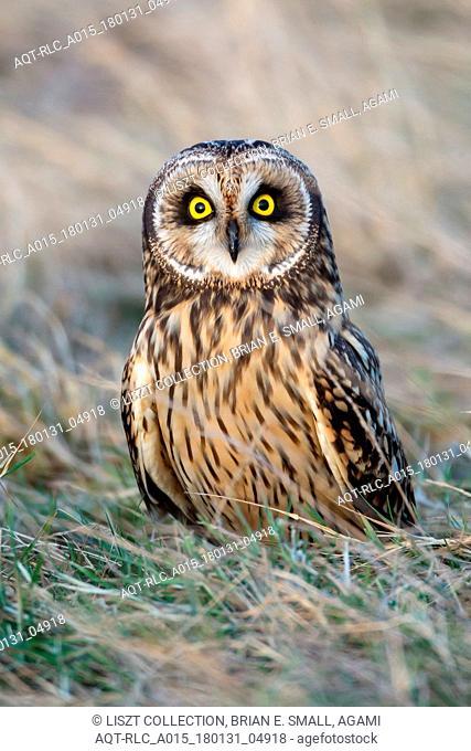 Asio flammeus, Short-eared Owl