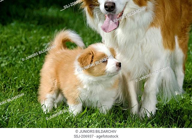 Border Collie. Puppy (6 weeks old) with mother on a lawn. Germany