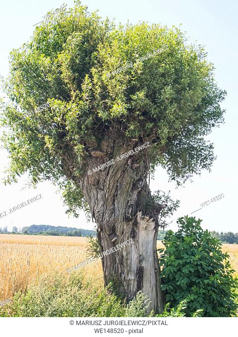 Goat willow (Salix caprea) in countryside in Poland