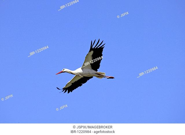 White Stork (Ciconia ciconia), adult, flying, Europe